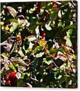 Berry Picking Acrylic Print