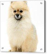 Bespectled Pomeranian Acrylic Print