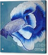 Betta Acrylic Print