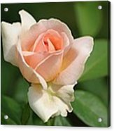 Betty White Rose Acrylic Print