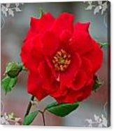 Betty's Red Rose Acrylic Print