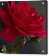 Betty's Red Rose II  Acrylic Print