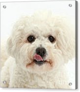 Bichon Frise With Tongue Out Acrylic Print