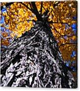 Big Autumn Tree In Fall Park Acrylic Print