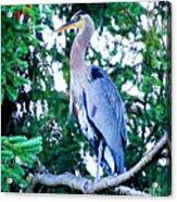 Big Bird - Great Blue Heron Acrylic Print