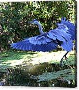 Big Blue In Flight Acrylic Print