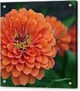 Big Bold Zinnia Flower Acrylic Print