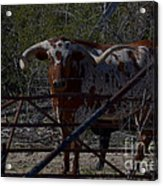 Big Bull Long Horn Acrylic Print