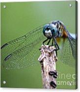 Big Eyes Blue Dragonfly Acrylic Print