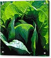 Big Green Cabbage Acrylic Print