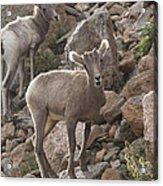 Big Horn Lambs Acrylic Print