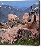 Big Horn Sheep Acrylic Print