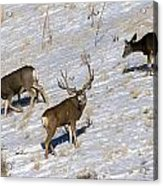 Big Mule Deer Buck Acrylic Print
