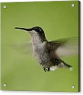 Big Star Humming Bird Acrylic Print by Dean Bennett
