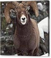 Bighorn Sheep, Maligne Canyon, Jasper Acrylic Print