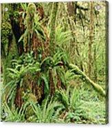 Bigleaf Maple Acer Macrophyllum Trees Acrylic Print