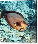 Bignose Unicornfish Acrylic Print