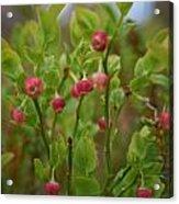 Bilberry Flowers Acrylic Print
