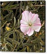 Bindweed (convolvulus Oleifolius) Acrylic Print