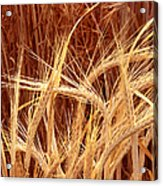 Bioengineered Barley Acrylic Print