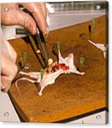 Biology Lesson: Gloved Hands Dissecting A Mouse Acrylic Print