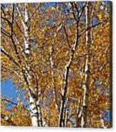 Birch Beauty Acrylic Print
