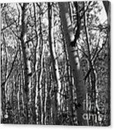 Birch Acrylic Print