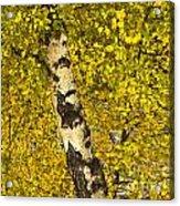 Birch Forest In Finland Acrylic Print