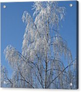 Birch In Frost. Acrylic Print