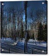 Birch Shadows Acrylic Print