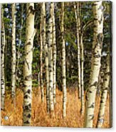 Birch Tree Abstract Acrylic Print