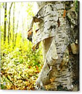 Birch Tree Acrylic Print