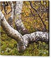 Birch Trees In Autumn Foliage Acrylic Print