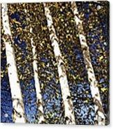 Birch Trees In Fall Acrylic Print