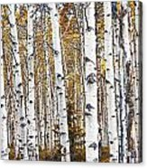 Birch Trees No.0644 Acrylic Print