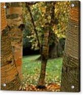 Birches In Autumn Acrylic Print