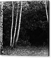 Birches In Black And White Acrylic Print