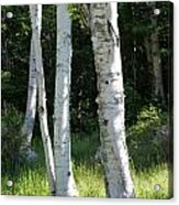 Birches On A Meadow Acrylic Print