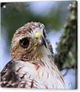 Bird - Red-tailed Hawk - Bashful Acrylic Print