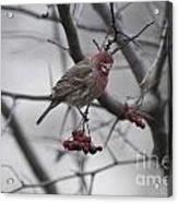 Bird And Berry 3 Acrylic Print