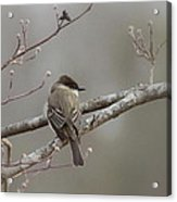 Bird - Eastern Phoebe - Very Contented Acrylic Print