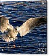 Bird Flying Acrylic Print