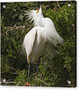 Bird Mating Display - Snowy Egret  Acrylic Print