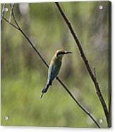 Bird Of Color Acrylic Print