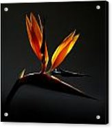 Bird Of Paradise 3 Acrylic Print