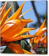 Bird Of Paradise Flowers Acrylic Print