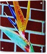 Bird Of Paradise Acrylic Print by Todd Sherlock
