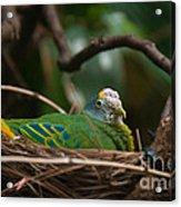 Bird On Nest Acrylic Print