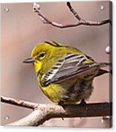 Bird - Pine Warbler - Detail Acrylic Print
