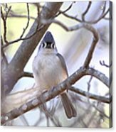 Bird - Tufted Titmouse - Busted Acrylic Print